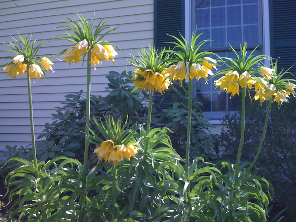 Fritillaria-'Lutea'-tall-yellow-flowering-bulb