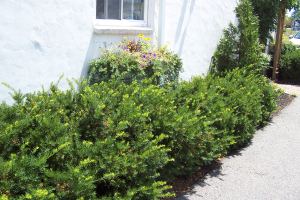 Yew-natural-pruned