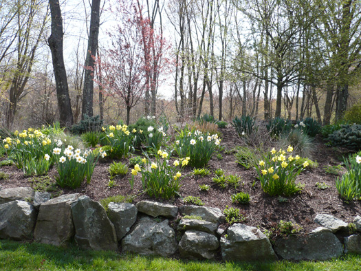 BULBS - MIXED DAFFODILS IN A WOODLAND SLOPE GARDEN