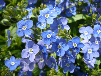 Veronica-umbrosa-Georgia-Blue-part-shade-perennial