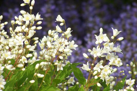 how to plant a shrub - Deutzia in bloom