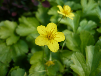 Waldsteinia-ternata-May-blooming-groundcover