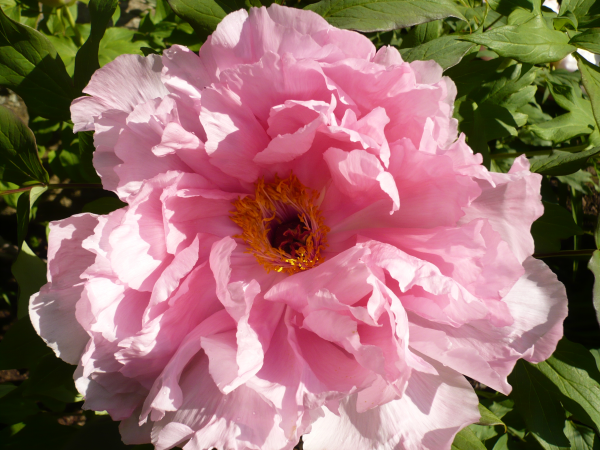 May-Bloom-Pink-Tree-Peony