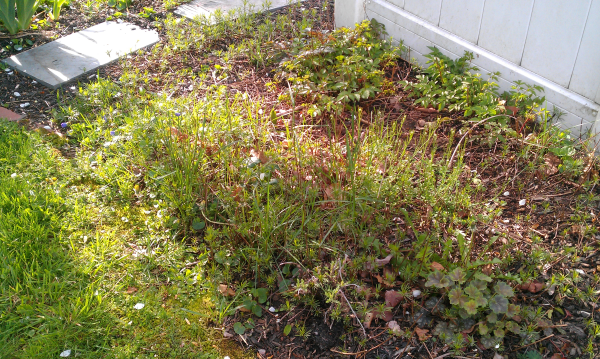 weeds in perennial gardens before