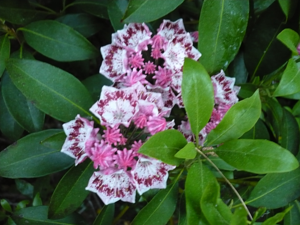 Mountain-Laurel-Blossom