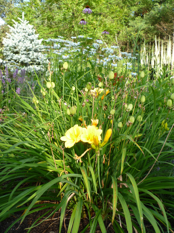 Perennials - How to deadhead a Daylily