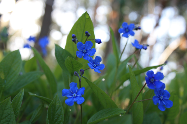 Omphalodes-Blue-Eyed-Mary