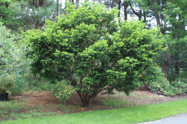 Hand-prunned-Yew-Taxus-sp