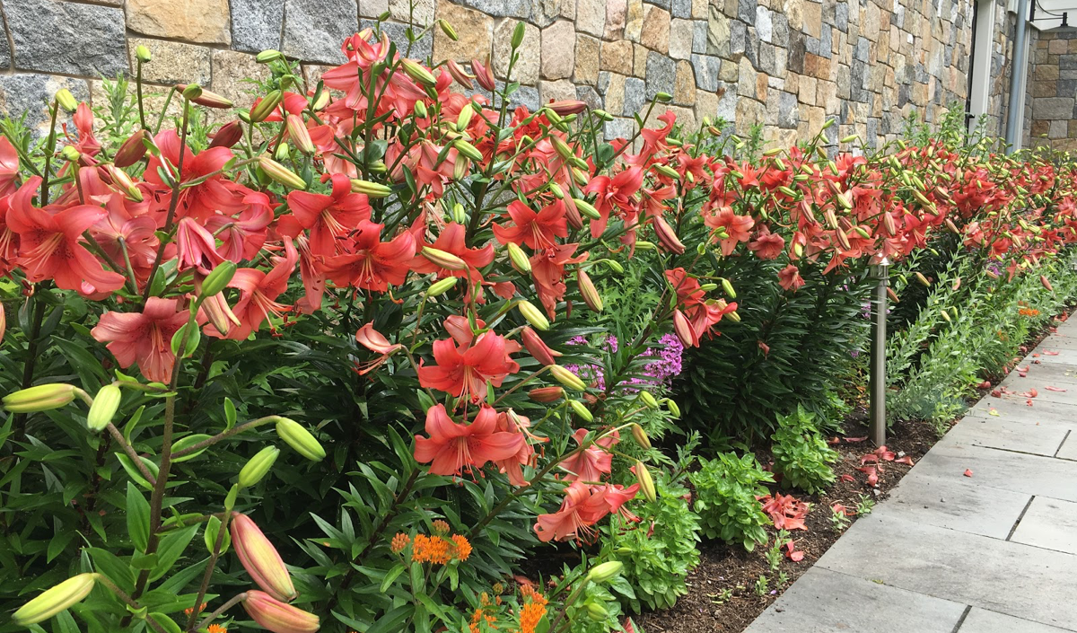 Asiatic-lilies-planted-with-Asclepias-tuberosa