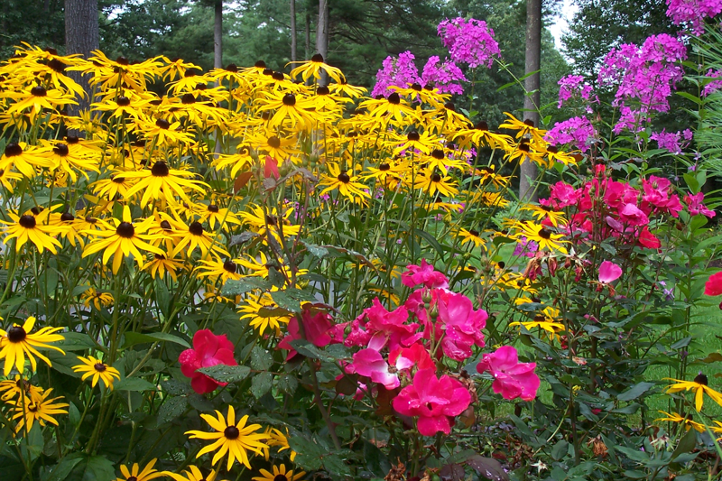 Boxing-Garden-Knock-Out-Roses-squares-off-with-Black-Eyed-Susans