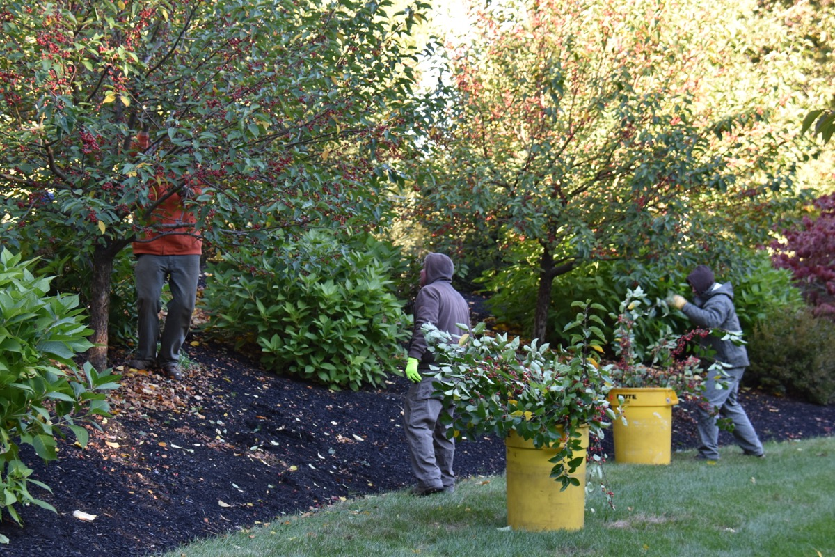 Detailed pruning of an ornamental crabapple to keep shape and encourage bloom