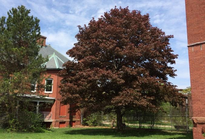 Legacy Trees Crimson King Maple