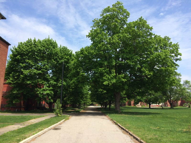 Legacy Trees-Tree lined roadway at the Medfield State Hospital