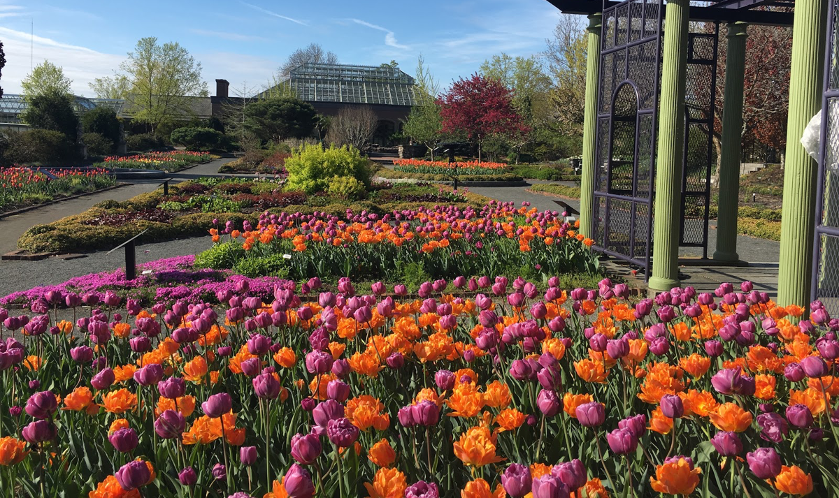 Spring-Tulip-display-at-Tower-Hill-Botanical-Gardens-in-Boylston-ma