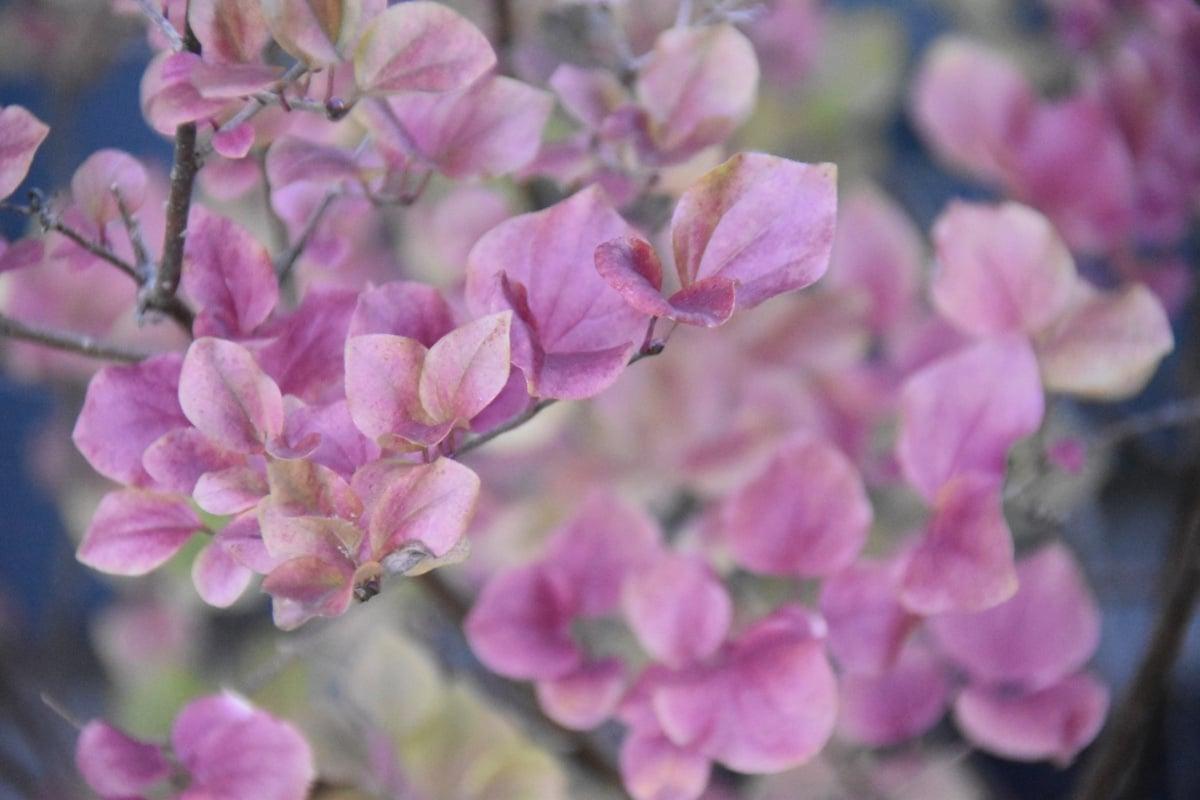 Syringa-meyeri-Palibin-fall-foliage-color-Dwarf-Korean-Lilac-2