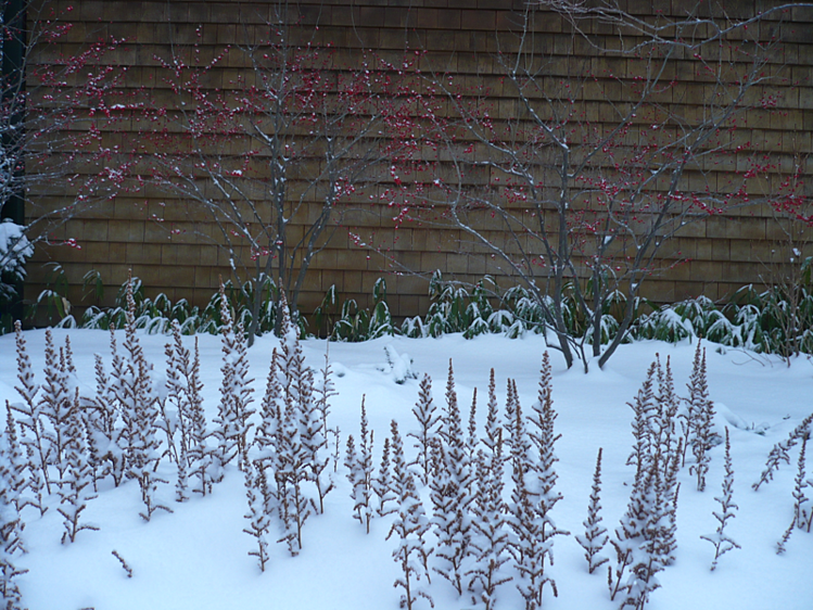 astilbe chinensis with blanket of snow
