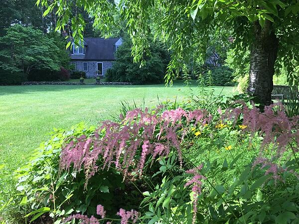Astilbe Ostrich Plume in Bloom