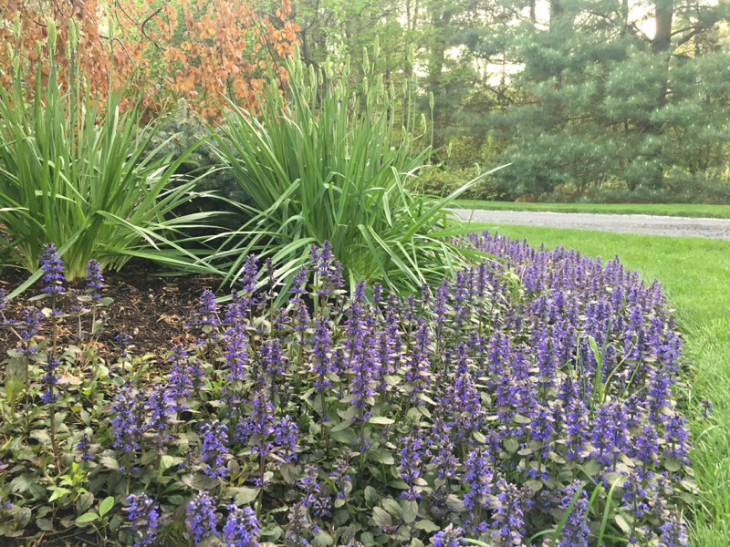 purple-spires-atop-Ajuga-Chocolate-Chip