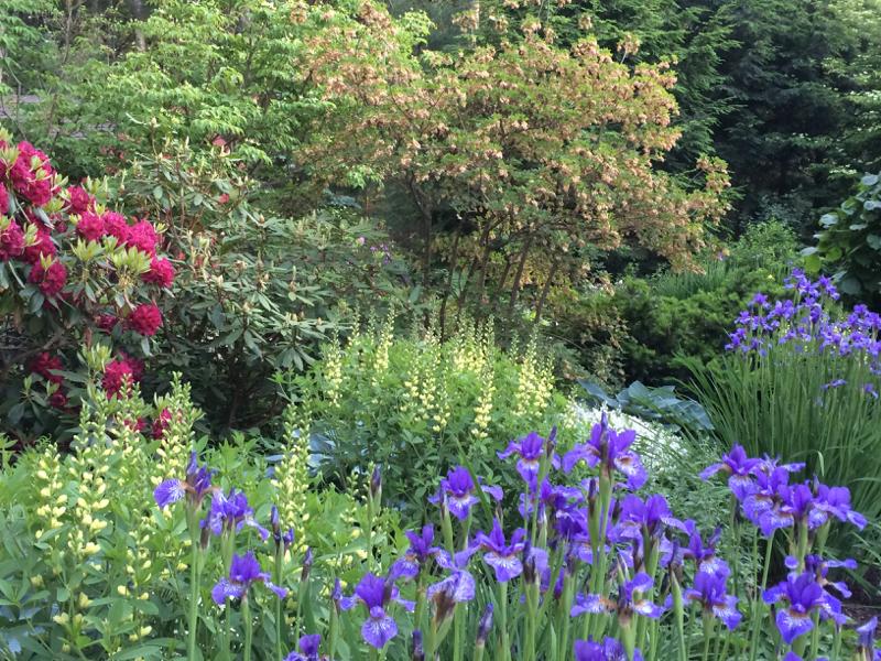 Siberian Iris garden