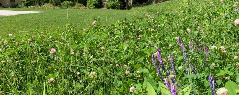 meadow-clover