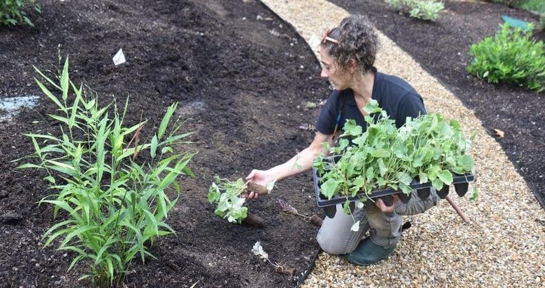 perennial-plug-planting