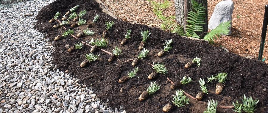 perennial-plug-planting-4-1