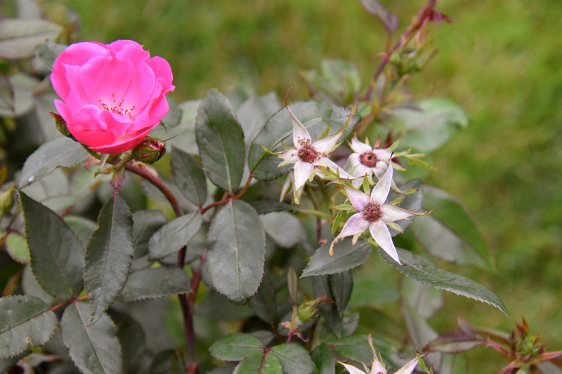 How to Prune your Knock Out and Drift Roses