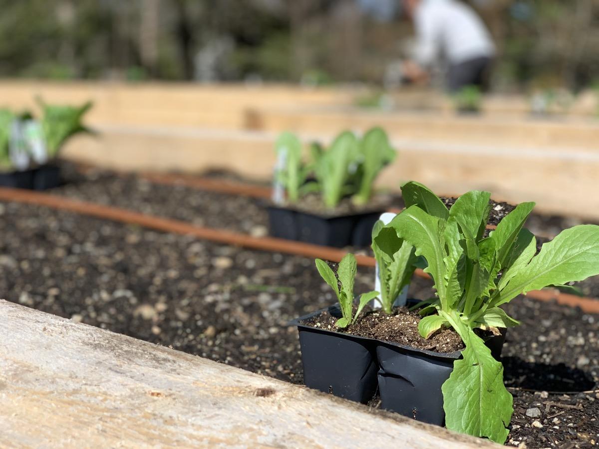 1-12-Romaine-Lettuce